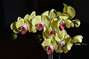 Images Orchid Yellow Black background flower