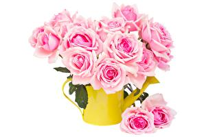 Pictures Roses White background Pink color flower