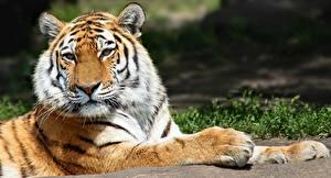 Hintergrundbilder Tiger Pfote Starren ein Tier