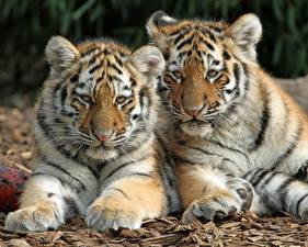 Picture Tigers Two Paws Animals