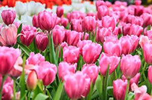 Sfondi desktop Tulipani Molte Rosa colore fiore