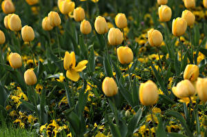 Photo Tulips Yellow Blurred background