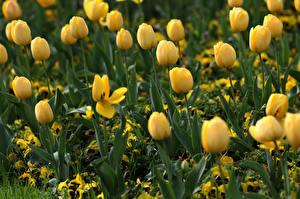 Hintergrundbilder Tulpen Gelb Unscharfer Hintergrund Blumen