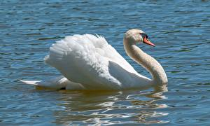 Pictures Water Birds Swan White Animals