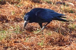Fondos de escritorio Pájaros Corneja negra Hierba un animal