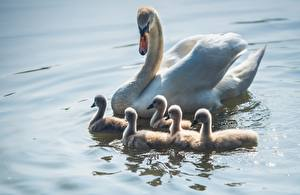 Picture Birds Swans Nestling Water animal