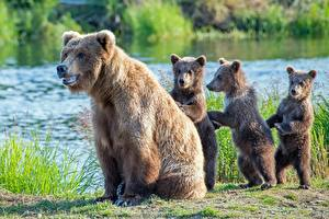 Wallpaper Bears Brown Bears Cubs Four 4 Animals