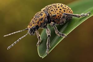 Fonds d'écran Coléoptères Insectes En gros plan chrysomelinae