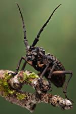 Hintergrundbilder Käfer Insekten Nahaufnahme phantasis avernica ein Tier