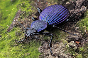 Fonds d'écran Coléoptères Insectes En gros plan tefflus