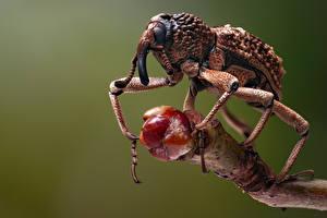 Fotos Käfer Insekten Hautnah weevil Tiere
