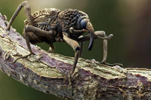 Bilder Käfer Insekten Hautnah weevil ein Tier