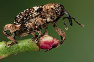 Wallpapers Bugs Insects Closeup weevil animal