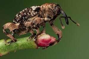 Fondos de escritorio Coleoptera Insectos De cerca weevil