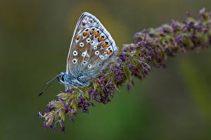 Images Butterflies Insects Blurred background common blue