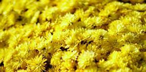 Bilder Chrysanthemen Nahaufnahme Viel Gelb