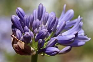 Hintergrundbilder Großansicht Bokeh Violett Agapanthus Blumen