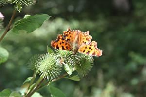 Bilder Hautnah Schmetterlinge Insekten Bokeh Small tortoiseshell ein Tier