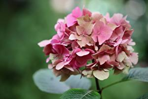 Wallpapers Closeup Hydrangea Bokeh Pink color Flowers