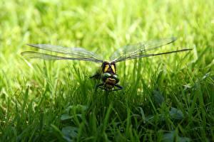 Bilder Großansicht Insekten Libellen Gras Tiere