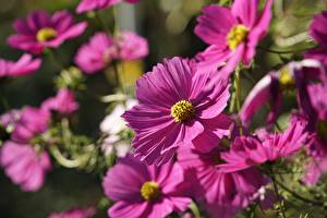 Wallpaper Cosmos plant Blurred background Pink color Flowers