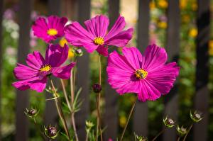 Pictures Cosmos plant Closeup Bees Insects Blurred background flower