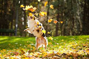 Image Dogs Autumn Leaf Playing animal