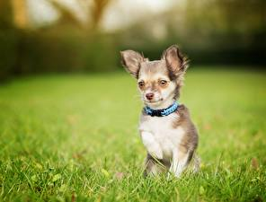 Pictures Dogs Chihuahua Grass Blurred background animal