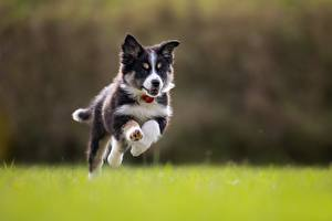 Images Dog Jump Running Border Collie Puppies Animals