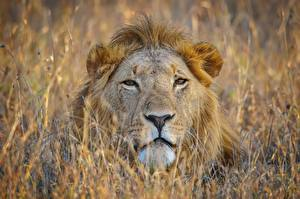 Hintergrundbilder Löwen Schnauze Blick Tiere