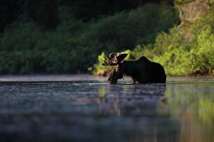 Desktop hintergrundbilder Elch Wasser Tiere