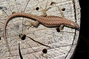 Bilder Reptilien Echsen Von oben Schwanz Tiere