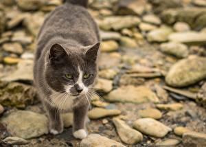 Hintergrundbilder Stein Katze Bokeh Starren