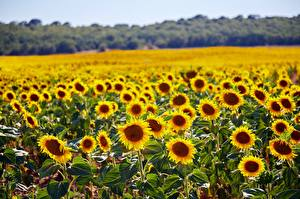 Image Summer Fields Sunflowers Many flower