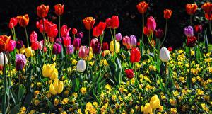 Sfondi desktop Tulipa Molti Colorate Fiori