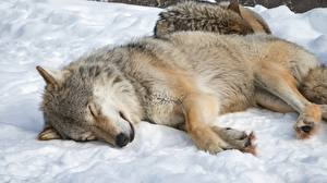 Pictures Wolves Sleeping Snow Lying down Animals