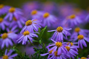 Fotos Bokeh Violett blue daisy, Felicia amelloides Blüte