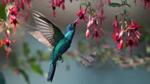 Bakgrundsbilder på skrivbordet Fåglar Kolibrier