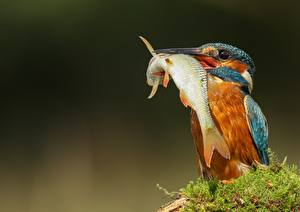 Pictures Birds Common Kingfisher Fish Beak animal