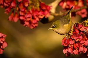 Images Birds Silvereye Animals