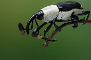 Fondos de escritorio Coleoptera Insectos De cerca cercidocerus albicollis animales