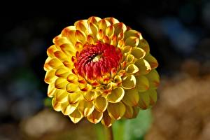 Images Closeup Dahlias Blurred background Yellow flower