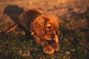 Sfondi Cani Cucciolo Erba Sdraiata Spaniel Zampe Animali immagini