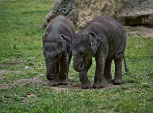 Desktop wallpapers Elephants Cubs Grass Two animal