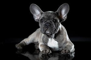 Bilder Französische Bulldogge Hunde Graues Schwarzer Hintergrund ein Tier