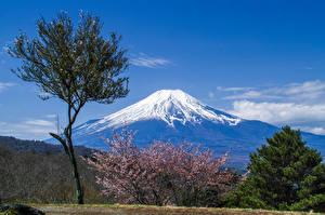bilder Fuji-san Blomstrende trær Japan Vulkan Trær Natur bilder skrivebordsbakgrunn
