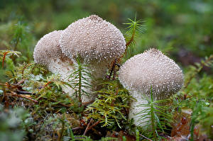 Image Mushrooms nature Closeup Moss warty puffball Nature