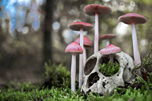 Photo Mushrooms nature Skulls Moss Blurred background mycena pura