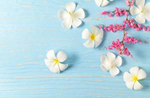 Tapety na pulpit Plumeria Szablon kartkę z życzeniami Biały kwiat