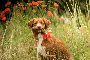 Pictures Poppies Nova Scotia Duck Tolling Retriever Grass Sitting Staring Blurred background animal